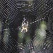 Spider and its web. — ストック写真