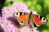 Butterfly on the inflorescence. — Stock Photo