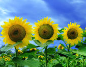 Three sunflowers in a summer sunflower field — Stock Photo