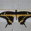 Giant Swallowtail - Papilio cresphontes - Stock Photo