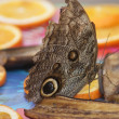 Owl Butterfly - Caligo eurilochus - Stock Photo