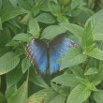 Blue Morpho Butterfly — Stock Photo #10359280