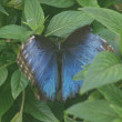 blue morpho butterfly — Stock Photo #10359285
