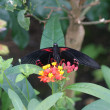Scarlet Mormon - Papilio deiphobus rumanzovia - Stock Photo