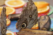 Owl Butterfly - Caligo eurilochus — Stock Photo