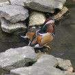 Mandarin Duck - Aix galericulata — Stock Photo