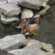 Stock Photo: Mandarin Duck - Aix galericulata