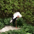 Stock Photo: White Stork - CiconiCiconia