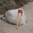 Yellow-billed Stork - Mycteria ibis - 图库照片