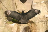 Andean Condor - Vultur gryphus — Stock Photo