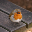 European Robin - Erithacus rubecula — Stock Photo