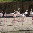 Stock Photo: Greater Flamingo - Phoenicopterus antiquorum