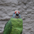 Red-tailed Amazon Parrot - Amazona brasiliens — Stock Photo
