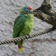 Red-tailed Amazon Parrot - Amazona brasiliens - Stock Photo