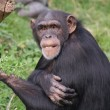 Common Chimpanzee - PTroglodytes — Stock Photo #9032773