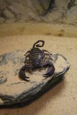 Flat Rock Scorpion - Hadogenes troglodytes — Stock Photo