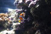 Falska clownfisk - amphiprion ocellaris — Stockfoto