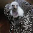 Stock Photo: Griffon Vulture - Gyps rueppellii
