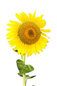 Isolated sunflower — Stock Photo
