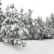 Stock Photo: Snowy winter forest