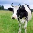 Royalty-Free Stock Photo: A cow grazes in a field