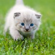 White kitten on grass. — Stock Photo #8450538
