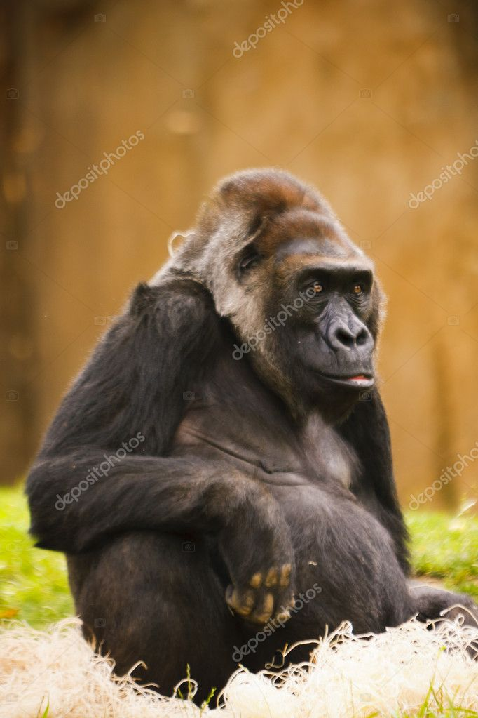 Large black ape hanging out at the zoo — Stock Photo #8159776
