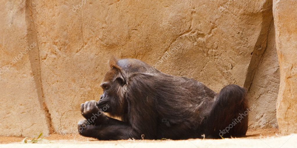 Large black ape hanging out at the zoo — Stock Photo #8159806