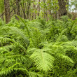 Natural Forest with Fern Plants — Stock Photo