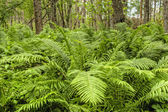 Natural Forest with Fern Plants — Стоковое фото