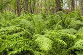 Přirozený les s kapradí rostliny — Stock fotografie