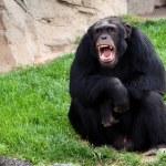 Gorilla — Stock Photo