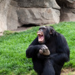 Chimpanzee — Stock Photo #10388733