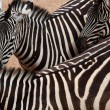 Zebras — Stock Photo #10388941