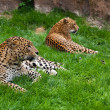 Leopard — Stock Photo #10389020