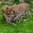 Leopards - Photo
