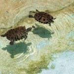 Turtles — Stock Photo #10389180
