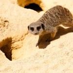 Lemur in the wild — Stock Photo