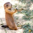Richardsons ground squirrel - Stock Photo