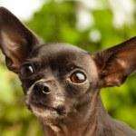Chihuahua head — Stock Photo #10389511
