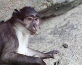 猴子 — 图库照片