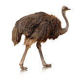 Ostrich isolated on a white background — Stock Photo