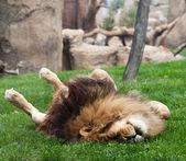 Löwe auf Gras — Stockfoto