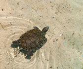 La tortue sur l'eau — Photo