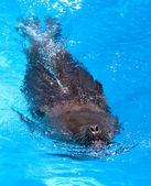 海洋のライオン — ストック写真