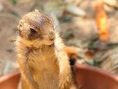 Richardson ground squirrel — Stock Photo