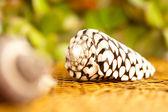 Pretty shell — Stock Photo