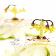 Passion flower — Stock Photo