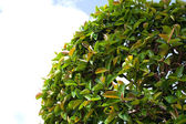 Ivy plant — Stock Photo