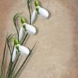 Snowdrops and shadow on textured background - Stock Photo